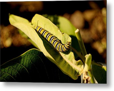 Monarch In Waiting Metal Print by Beth Collins