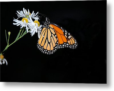 Monarch King Of Butterflies Metal Print