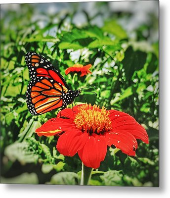 Monarch Of The Flowers  Metal Print