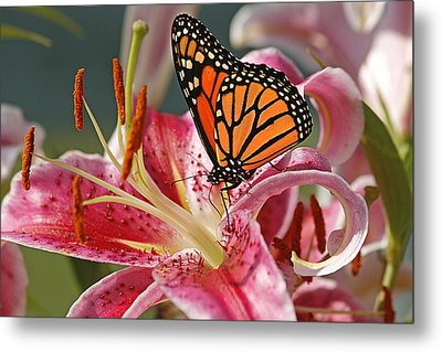 Monarch On A Stargazer Lily Metal Print
