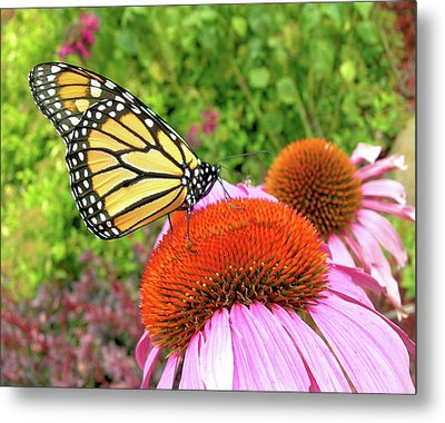 Monarch On Coneflower Metal Print by Randy Rosenberger