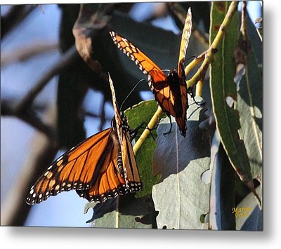 Monarch On Eucalyptus Metal Print