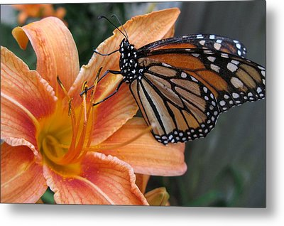 Monarch On Lily Metal Print
