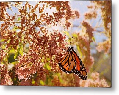 Monarch On Milkweed Metal Print by Beth Collins