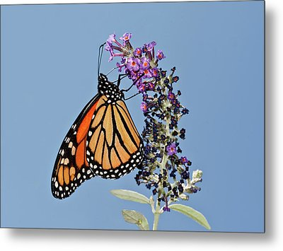 Metal Print featuring the photograph Monarch Orange And Blue by Lara Ellis