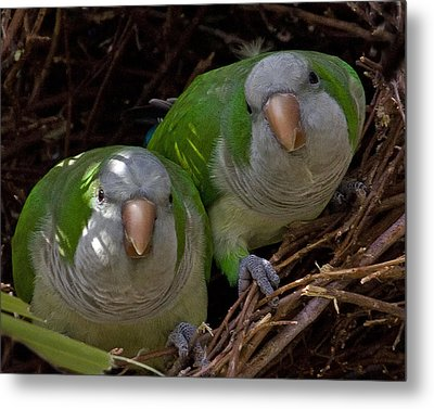 Monk Parakeet Pair Metal Print by Larry Linton
