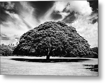 Monkey Pod Tree In Black And White Metal Print by Charmian Vistaunet