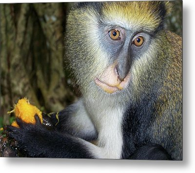 Monkey With His Mango Metal Print
