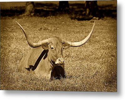 Monochrome Longhorn Cow Rsting In Grass Metal Print
