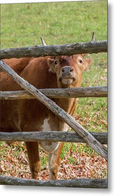 Metal Print featuring the photograph Moo by Bill Wakeley