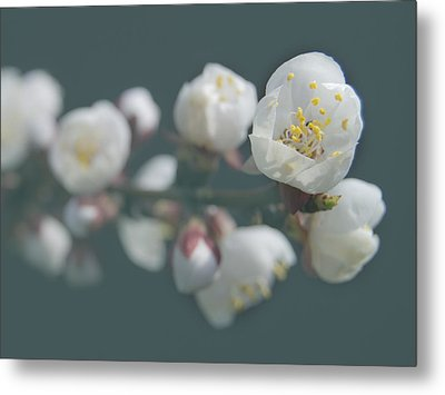 Moorpark Apricot B 4212 Metal Print by Michael Peychich