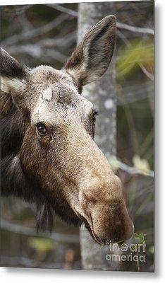 Moose - White Mountains New Hampshire Usa Metal Print by Erin Paul Donovan