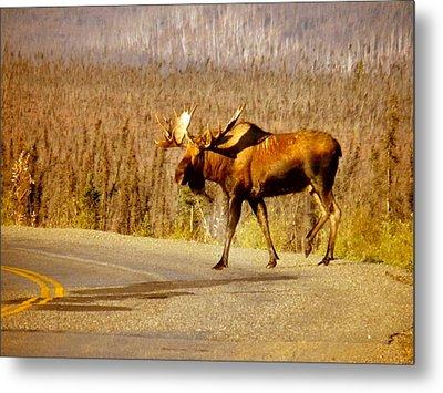 Moose Crossing Metal Print by Adam Owen
