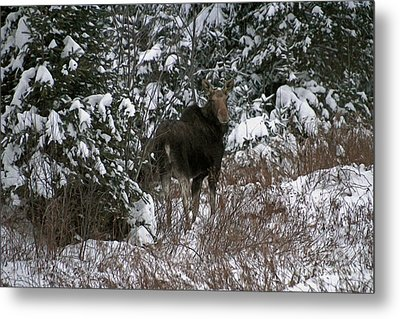Moose In New England Metal Print by Cheryl Aguiar