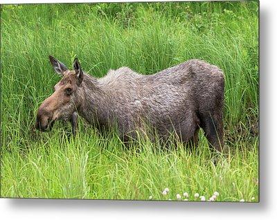 Moose In Tall Grass Metal Print