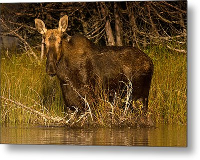 Moose Of Prong Pond Metal Print by Brent L Ander