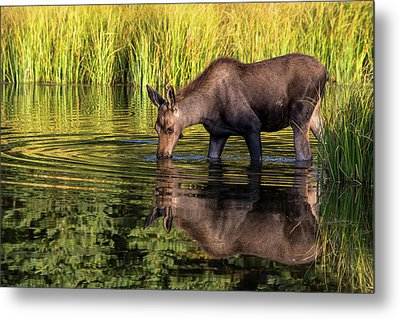 Metal Print featuring the photograph Moose Reflections by Mary Hone