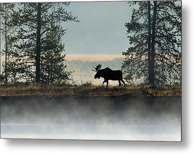 Moose Surprise Metal Print