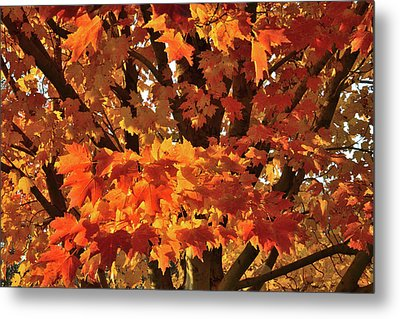 Metal Print featuring the photograph Moraine Hills Sugar Maple by Ray Mathis