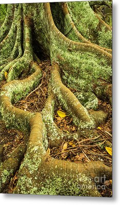 Metal Print featuring the photograph Moreton Bay Fig by Werner Padarin