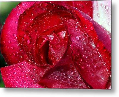 Morning Dew On Rose Metal Print