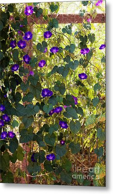 Morning Glories Metal Print by Margie Hurwich