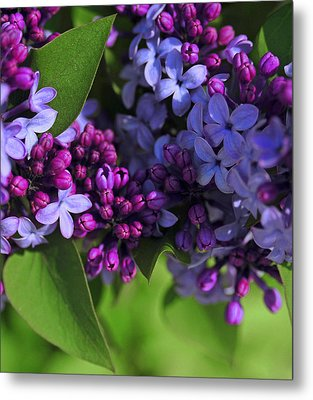 Morning Lilacs Metal Print by The Forests Edge Photography - Diane Sandoval
