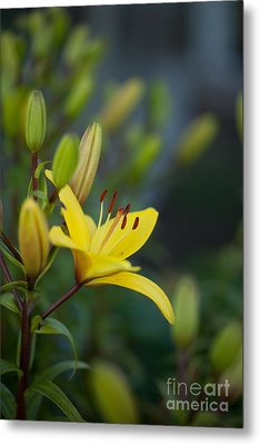 Morning Lily Metal Print
