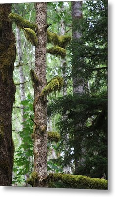 Moss-draped Trees On Tiger Mountain Wt Usa Metal Print by Christine Till