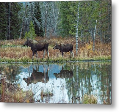 Mother And Baby Moose Reflection Metal Print by Rebecca Margraf