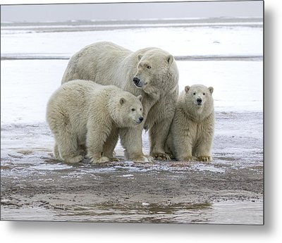 Mother And Cubs In The Arctic Metal Print