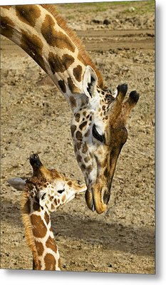 Mother Giraffe With Her Baby Metal Print
