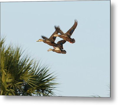 Metal Print featuring the photograph Mottled Ducks Take Flight by Lynda Dawson-Youngclaus