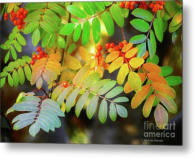 Mountain Ash Fall Color Metal Print by Michele Penner