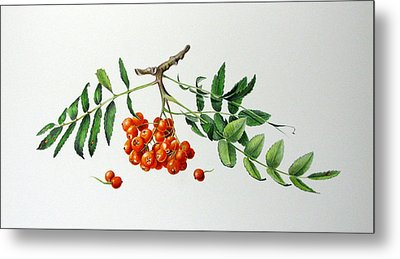 Mountain Ash With Berries  Metal Print by Margit Sampogna