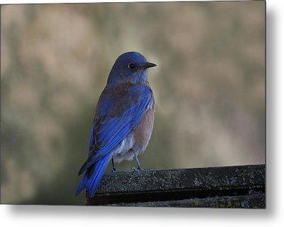 Mountain Bluebird Metal Print by Ernie Echols