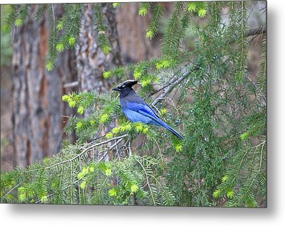 Mountain Bluejay Metal Print by James Steele