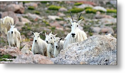 Metal Print featuring the photograph Mountain Goat Family Panorama by Scott Mahon
