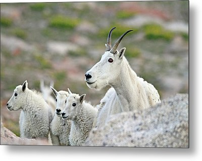 Metal Print featuring the photograph Mountain Goat Family by Scott Mahon