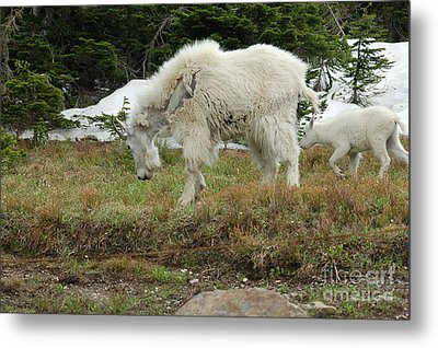 Mountain Goat Mom And Baby II Metal Print by D Nigon
