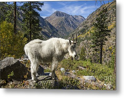 Mountain Goat Sentry Metal Print
