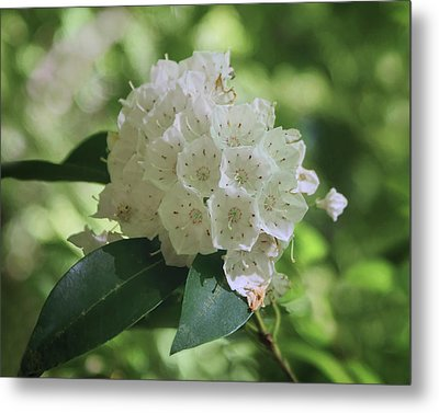 Metal Print featuring the photograph Mountain Laurel - Spring by Nikolyn McDonald
