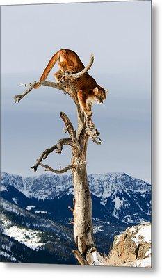 Mountain Lion In Tree Metal Print