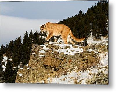 Mountain Lion On Rocks Metal Print