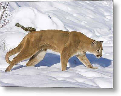 Mountain Lion Puma Concolor Hunting Metal Print by Matthias Breiter