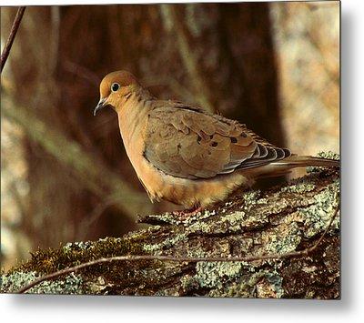 Mourning Dove At Dusk Metal Print by Amy Tyler