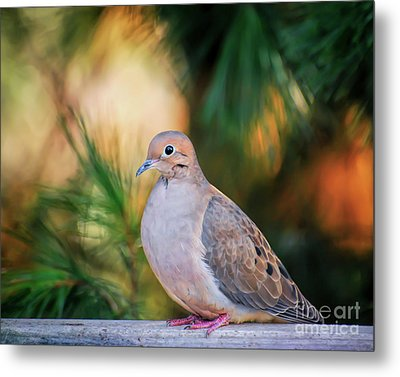 Metal Print featuring the photograph Mourning Dove Bathed In Autumn Light by Kerri Farley of New River Nature