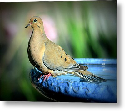 Mourning Dove Perched Metal Print