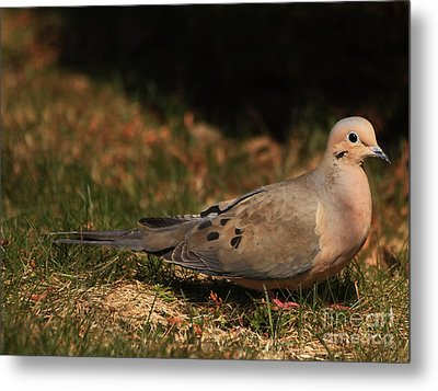 Mourning Dove Spring 2012 Metal Print by Marjorie Imbeau