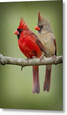 Mr. And Mrs. Northern Cardinal Metal Print